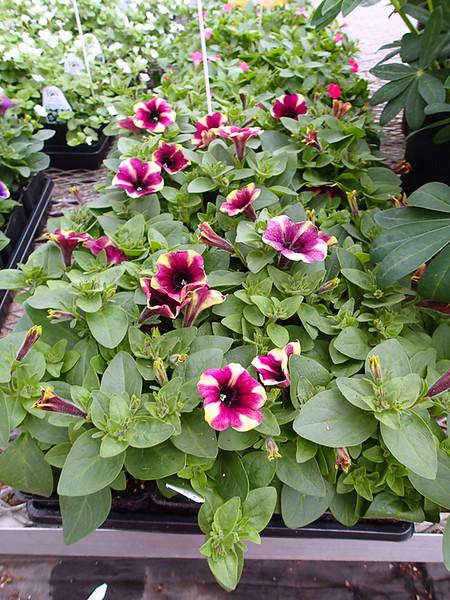 Petunia Crazytunia Blackberry Mojito