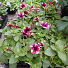 Petunia Crazytunia Blackberry Mojito