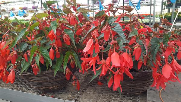 """12"""" Wicker Begonia Hanging Baskets"""