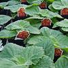 Calceolaria Calynops