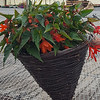 "14"" Wicker Begonia Basket"