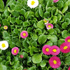 Bellis Speedstar Plus