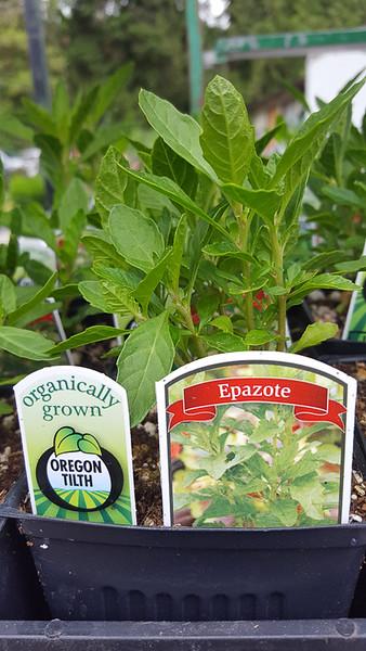 Organic Epazote