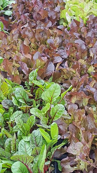 Lettuce & Chard
