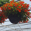 "12"" Hanging Basket of Begonia"