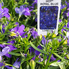 Lobelia Royal Blue