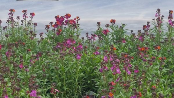 Erysimum Winter Series