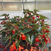 Begonia Baskets