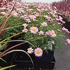 Argyranthemum Baby Pink