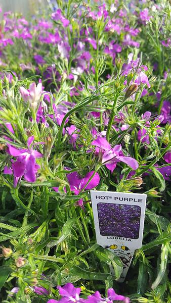 Lobelia Hot Purple