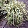 Carex Everygold