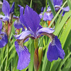Iris s. Ceasar's Brother