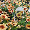 Calibrachoa Conga Sunset Kiss