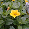 Cali Superbells Yellow