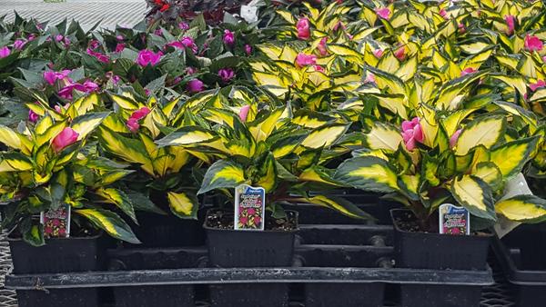 Impatien SunPatiens Compact Tropical Rose