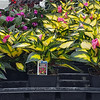 Impatien SunPatiens Compact Tropical Rose