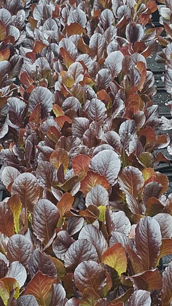 Lettuce Bibb- Rhazes