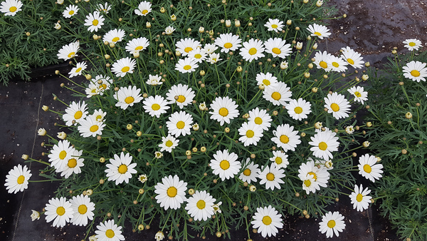 Argyranthemum Everest White