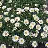 Argyranthemum Everest White