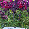 Salvia Mirage Burgundy