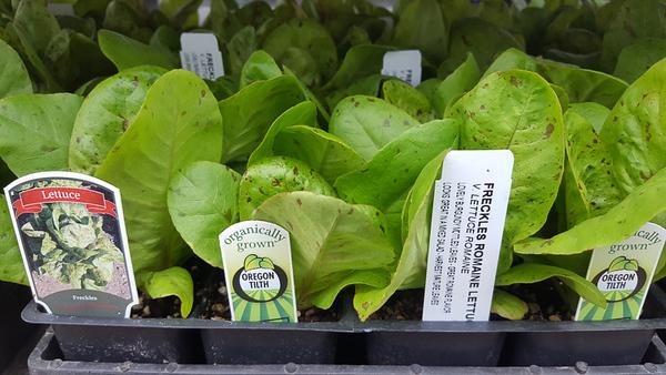 Organic Lettuce Freckles