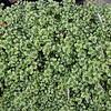 Trifolium Limerick Lenore