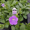 Petunia Surfinia Heavenly Blue