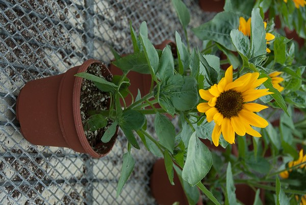 "6"" Sunflowers are oh so popular!"