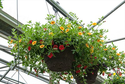 Full and luscious Calibrachoa baskets.