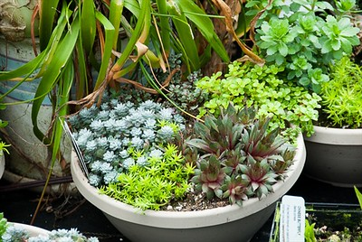 Sedum Bowls- one of my fav things.