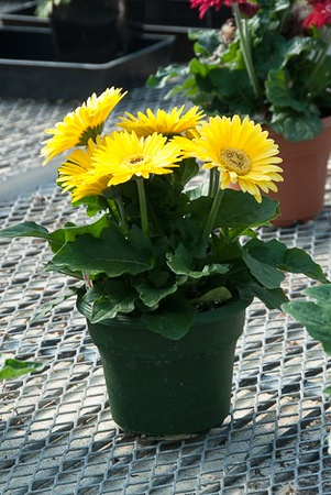 "6"" Gerbera's are the perfect gift."
