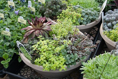 Sedum Bowls are incredibly popular.