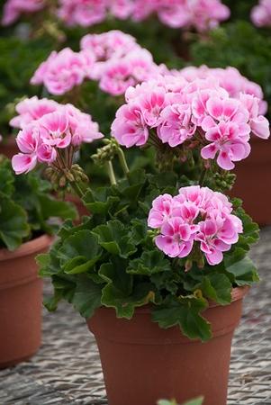 """6"""" Geranium - perfect size!"""