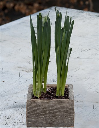Paperwhites - Weathered Wooden Box <br>SOLD OUT