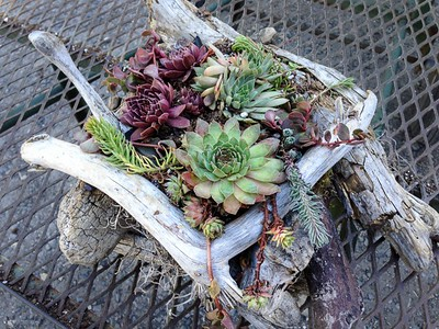 Planter  Unique - Driftwood Planter with Sedum & Succulents. Great gift!
