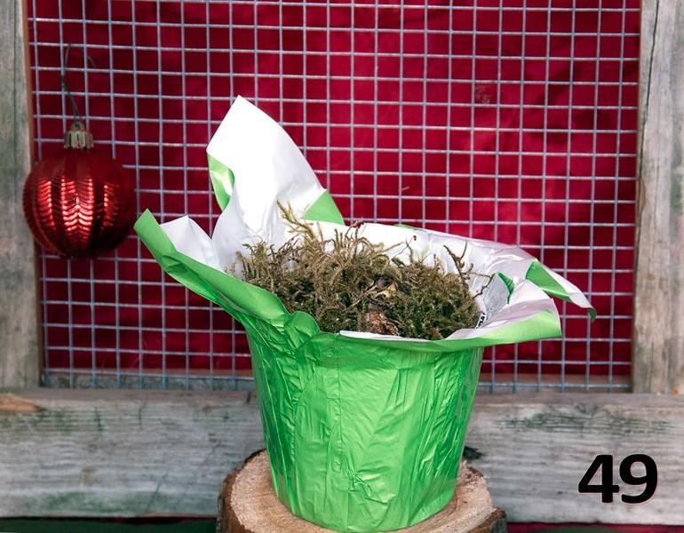 #49 - Paperwhites in sleeved plastic pot.