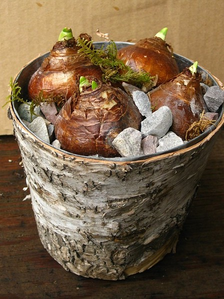 Paperwhites in Birch Pot