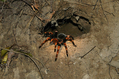 Beautiful tarantula...we saw him on a guided night walk.