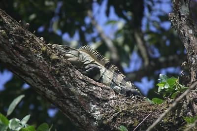 Tree iguana