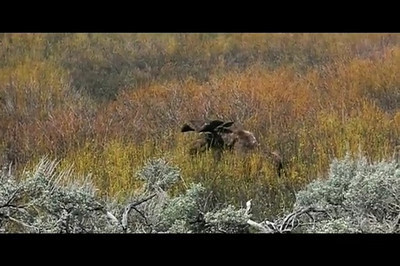 11 second video of bull moose