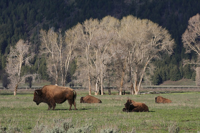 Very common scene in Grand Teton -  Bison (or buffalo)