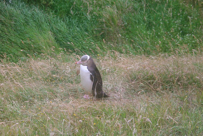 This is a yellow-eyed penguin, found only in New Zealand.