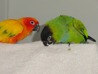 7th Past Parrots Rescues in our Sanctuary