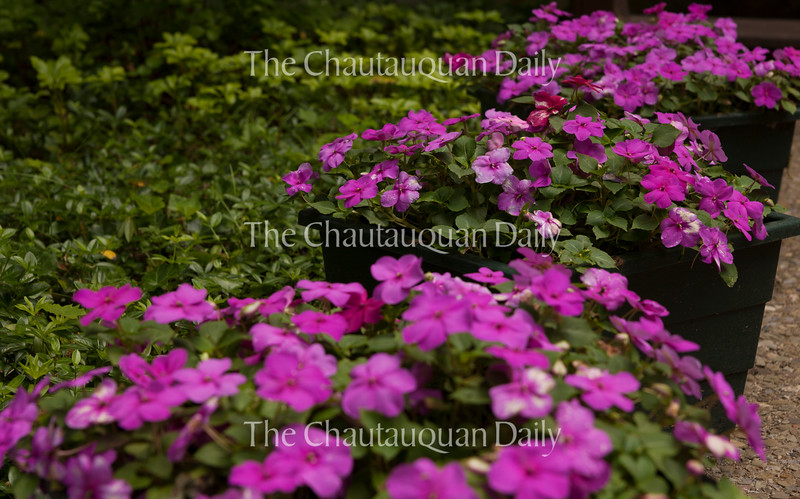Many Chautauquans have potted plants outside their homes. These magenta flowers sat outside 3 Root on June 23, 2016.