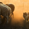 Overall Winner / Dogs at Work 1st Place Winner, Steph Gibson ©, Australia