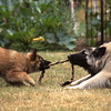Dogs at Play 4th Place Winner, Margaret Saunders ©, UK
