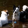 Dogs at Play 2nd Place Winner, Gemma Higham ©, UK