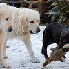 Dogs at Play 1st Place Winner, Sarah Middleton ©, UK