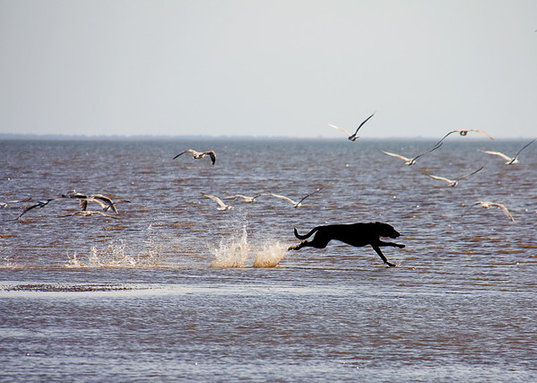Dogs at Play 2nd Place Winner, Ian Lambert, © UK