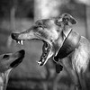 Dogs at Play 4th Place Winner, Robert Patefield, © UK